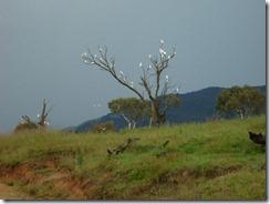 cockatoo tree